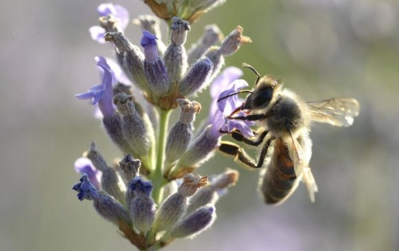 Solutions simples pour sauver les abeilles